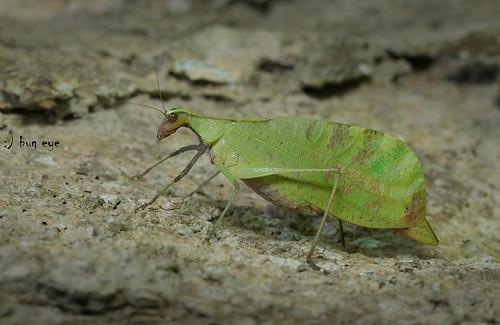 Tettigoniidae / Katydid , bush crickets , Leaf insect / ตั๊กแตนใบไม้