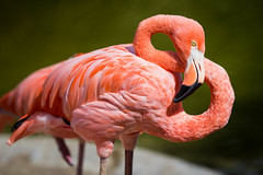 Flamingo, San Diego Zoo (Photos By Clark) Tags: california canon60d canon70200f28isl cities locale location northamerica places sandiego sandiegogeneral sandiegozoowap unitedstates where lightroom bird zoo pink