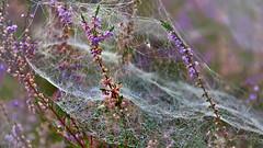 Caught in the net (flowerikka) Tags: net web netz heather flowers purple nature landscape art spiderart heidelandschaft autumn