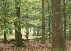 NP De Hoge Veluwe (corrie.nijenmanting) Tags: hogeveluwe edelhert