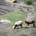 Pastoral scene in Karimabad, Pakistan パキスタン、カリマバードの牧歌的風景