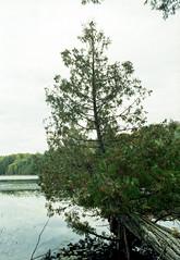 Cedar Over the Water (Bill Smith1) Tags: asahipentaxkx believeinfilm billsmithsphotography fall2016 heyfsc jacksonlake lomo400c41 muskoka smcpentaxm50f14lenslens filmshooterscollective