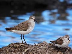 Curlew sandpiper and red-necked stint (Hone Morihana) Tags: westerntreatmentplant shorebirds migratorybirds curlew sandpiper