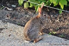 Conejo de Florida / Eastern Cottontail (Sylvilagus floridanus) (avgomo) Tags: usa unitedstates eeuu estadosunidos chicago illinois fauna mammals mamferos conejo rabbit