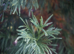 DSC04045 (Old Lenses New Camera) Tags: sony a7r schneider schneiderkreuznach xenon 5cm 50mm f2 plants garden tree leaves japanesecedar