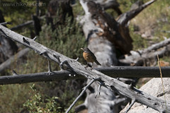 """American Robin • <a style=""""font-size:0.8em;"""" href=""""http://www.flickr.com/photos/63501323@N07/30196278375/"""" target=""""_blank"""">View on Flickr</a>"""