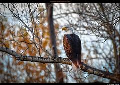 American Bald Eagle on Tree (episa) Tags: americanbaldeagle colorado nikonafs200500mmf56eedvr tree nikond500 rockymountains