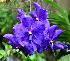 Orqudea Vanda coerulea - Orchidea - (Vanda coerulea) (Valter Frana) Tags: orqudea orchid vanda vandacoerulea vegetal planta ornamental rara azul