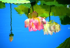 Reflected Lotus Beauty (Stanley Zimny (Thank You for 20 Million views)) Tags: lotus flower reflection bronx botanical garden water