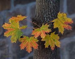 Kreischa, Kurpark, Herbstimpressionen (joergpeterjunk) Tags: kreischa sachsen outdoor panasonicdmcfz200 bridgekamera pflanze herbstlaub laub baum ahorn kurpark