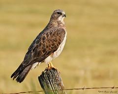 Swainson's Hawk  9324 (Bonnieg2010) Tags: swainsonshawk hawk swainsons wild bird nature avian birdofprey alberta bonniegrzesiak ngc