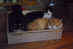 Rub-a-dub-dub (rootcrop54) Tags: batmantuxedo idahomasked jimmyorange box carpettiles goofballs boys cats