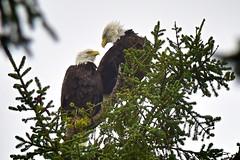 Eagles in Long Beach, Wash. (Merk Gerves) Tags: bald eagles ocean park klipsan beach washington long birding eagle call mark graves