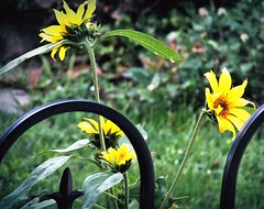 Last of my Sunflowers (Lana Pahl / Country Star Images) Tags: fencephotography happyfencefriday fencefriday catchycolors