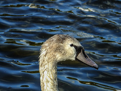 Cygnet (tubblesnap) Tags: troon holiday scotland cygnet swan water droplets