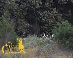 Oak Creek Main Ranch October (oakcreekhunt) Tags: whitetail whitetaildeer wwwoakcreekwhitetailranchcom worldrecordwhitetail weishuhn keithwarren mrwhitetail sci sportear specialties dsc missouri besttrophyhunting besttrophywhitetailhunts monsterbucks deer deerhunting outdoor recordbookdeer hunt hunting huntersspecialties blakebarnett bigbuck