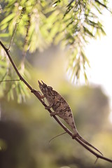(Leela Channer) Tags: female jacksons chameleon kenya reptile light nature leaves gravid cute brown animal garden nairobi