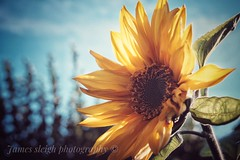 Fuji x-t10 pentacon (Jasrmcf) Tags: fujj fujinon fujifilm fujixt10 fujimacro macro dof depthoffield bokeh bokehlicious bokehgraph blur smooth pentacon 30mm sunflower flowers flower grain film vintage yellow beautiful nature garden