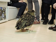 Gone Rogue (thelazyaji) Tags: ikebukuro ikefukuroucafe owl eagleowl toyko japan owlcafe