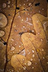 Fall #2 (chmeermann | www.chm-photography.com) Tags: vscofilm natur nikon d7100 sigma makro photoshop 105mmf28 herbst tropfen blatt lightroom querformat provia100f landscapeformat