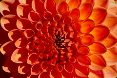 Dahlia     Vrijbroekpark (DirkVandeVelde back) Tags: europa europ europe belgie belgica belgium belgique antwerpen anvers antwerp aves mechelen malines malinas vrijbroekpark buiten bloem flower fleur flora flor flowers