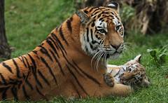 siberian tiger Duisburg JN6A7771 (j.a.kok) Tags: tijger tiger tigercub siberischetijger siberiantiger amoertijger amurtiger duisburg pantheratigrisaltaica cub cat predator