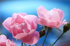 Ros (evisdotter) Tags: ros rose pink macro bokeh sooc flowers blommor