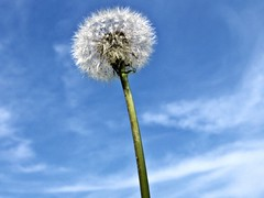 Blow & Make A Wish (barb♥arella) Tags: plant nature weed outdoor seed blow dandelion wildflower seedling taraxacum makeawish blowball flowerseed dandelionseed dandelionflowerseed
