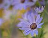 Cool Senetti Golden Dreams (dorothylee) Tags: flowers blue flower nature floral closeup garden dof lavender softfocus dreamy pericallissenetti shallowdeptoffield