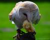 Dinner Time (Stephen Whittaker) Tags: nikon owl prey d5100 whitto27