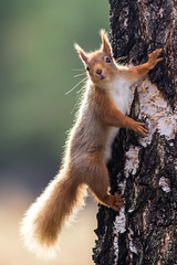 Backlit Red Squirrel (L.Y.L.E) Tags: morning red sun sunlight nature forest canon photography scotland photo highlands woods squirrel shadows image wildlife scottish f56 imagery redsquirrel kingussie 400mm scottishhighlands canon400mmf56 drumguish canon5dmkiii