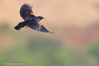 Blackbird Breezes By