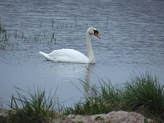 137/365 (Owen H R) Tags: bird swan orkney wildlife loch day137 harray day137365 3652013 owenhr 365the2013edition 17may13