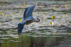 GBH on the hunt (vidular) Tags: heron nature pond nikon wildlife greatblueheron wetland lightroom ardeaherodias d600 nikon80400f4556afvr