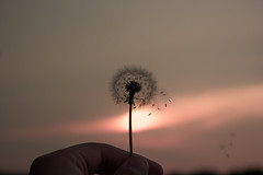 away we go (rishispieces) Tags: sunset plants cloud sun plant flower nature canon circle stem hand wind cloudy finger go fingers windy away gone we dandelion solo single peep dandelions letsgo peeping gonewiththewind 60d canon60d