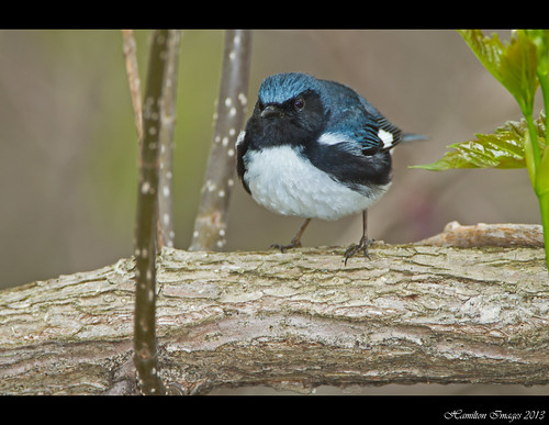 Black-throated Blue Warbler (Dendroica caerulescens)