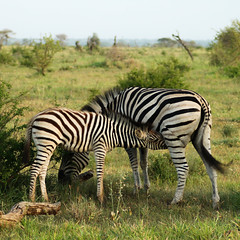 Stripes (By Elize) Tags: africa baby white black mom southafrica stripes mum zebra 2012 kruger zebras foal eos400d