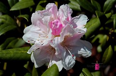 Blush (Michiale Schneider) Tags: pink nature spring bush rhododendron bloom blush perennial