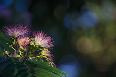 Mimosa highlight (BullockStudios) Tags: pink red white flower tree green fan texas katy south feather bloom fiber mimosa