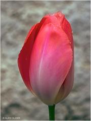 Tulipe sous la neige 4
