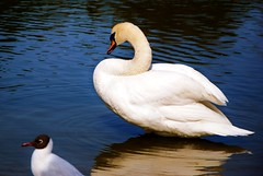Jamen flytta p dig d (Marie EG) Tags: bird water skne spring swan sweden