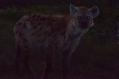 Hyena at Dark