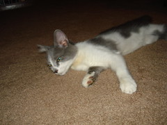 Stella Blue! (DaisyDeadhead) Tags: felines kittens rescues