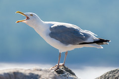 American herring gull - Larus smithsonianus (seb-artz) Tags: american herring gull larus smithsonianus wild wildlife bird nikon d7100 nature