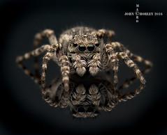 Reflection (John Chorley) Tags: spider spiders reflection jumpingspider 2016 nature nikkor105mmlens nikon macro macros macrophotography closeup close closeups johnchorley john