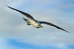Gull elegance (Ib Aarmo) Tags: seagull gull flying wings elegance outdoor nature