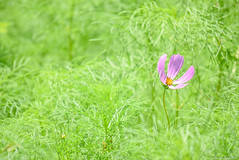 / Cosmos bipinnatus (March Hare1145) Tags: plant flower cosmos