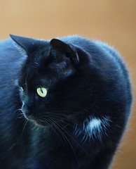 Kater kocur KOCIO (arjuna_zbycho) Tags: blackcat tuxedo tuxedocat kater hauskatze cat animal cute animals pets gato kitten feline kitty kittens pet tier haustier katzen gattini gatto chat cats kocio