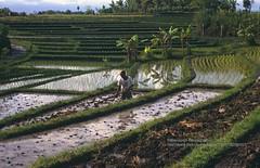 Bali, near Tanah Lot, farmer in the ricefields (blauepics) Tags: indonesien indonesia indonesian indonesische bali island tanah lot natur landscape landschaft reisfelder rice reis fields terraces terrassen green grn agriculture landwirtschaft water wasser farmer bauer