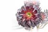 Aeonium Arboreum (cas lad) Tags: caslad aeoniumarboreum succulent purple garden plant yorkgate adel